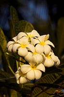 Plumeria flowers in Bali, Indonesia.