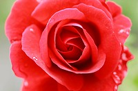 Red rose, close up