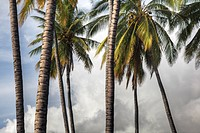 The midsection of a group of Palm trees on the island of Molokai.