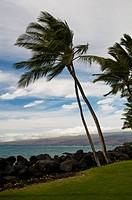 Palm trees on a windy coast.