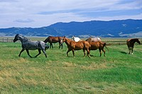 Horses running in field, Centennial Valley, MT