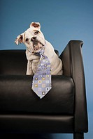 Bull Dog Puppy Wearing Blue Tie