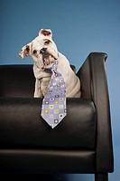 Bull Dog Puppy Wearing Blue Tie