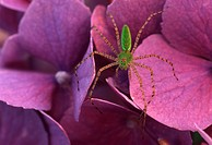 Green Lynx Spider sits on garden flowers.