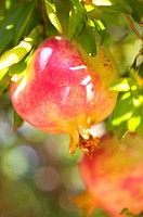Pomegranate Tree Punica granatum