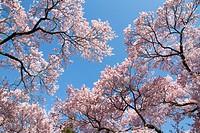 Cherry blossomsCerasus subhirtella, blue sky