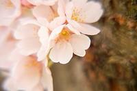 Cherry blossomsPrunus yedoensis, Japan