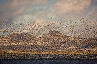 Massive flock of Snow Geese in flight