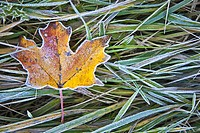 Frost on Maple Leaves