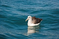 White-capped Albatross Diomedea cauta