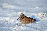 Woodcock Scolopax rusticola feeding in snow