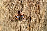 Eyed hawk-moth Smerinthus ocellat resting on post