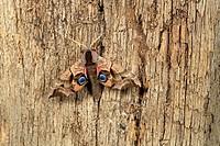 Eyed hawk-moth Smerinthus ocellat resting on post