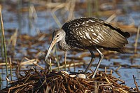 A Limpkin Aramus guarauna on it´s nest with eggs