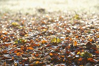 Autumn leaves on forest floor, close_up