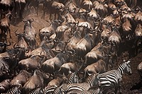 Eastern White-bearded Wildebeest (Connochaetes taurinus) herd and Common or Plain's Zebra (Equus quagga burchellii) moving up the river bank, Maasai M...