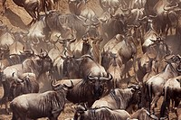 Eastern White-bearded Wildebeest (Connochaetes taurinus) herd waiting surrounded by dust, Maasai Mara National Reserve, Kenya