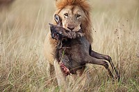 Lion (Panthera leo) male carrying carcass of a dead wildebeest (Connochaetes taurinus) in its mouth, Maasai Mara National Reserve, Kenya