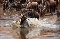 Nile crocodile (Crocodylus niloticus) attacking Wildebeest (Connochaetes taurinus) as they attempt to cross river during migration, Maasai Mara Nation...