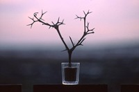 Thorn branch in small glass at dusk