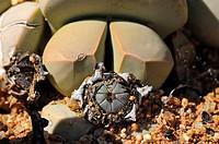 Lapidaria margaretae with seed capsules, Katmis, Klipvygie, rock mesemb, Namaqualand, South Africa
