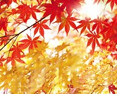 Close_up of maple leaves at autumn