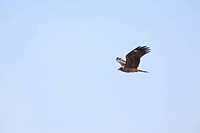 Black kite in flight at Himeji central park, low angle view