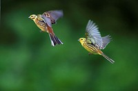 Yellow Hammers Emberiza citinella in Flight