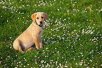 Yellow Labrador Puppy playing