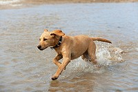Yellow Labrador Puppy at 17 weeks old running on beach