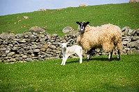 A sheep with her lamb in a green field with a dry-stone wall behind them