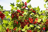Ripe redcurrants on the bush, backlit by sun