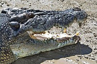 The enormous jaws, teeth of a male Saltwater Crocodile sun basking.