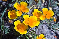 The delicate yellow alpine flower Flores Amarillas on a mountainside.