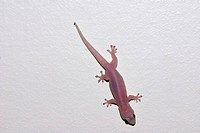 An Asian House Gecko climbs and clings to a white bathroom wall.