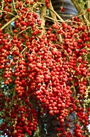 Magnificent red berries on a fruiting Foxtail Palm Wodyetia bifurcata.