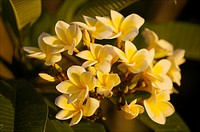 Cluster of plumeria or frangipani flowers.