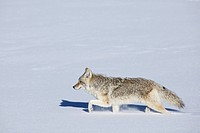 A coyote runs through the Hayden Valley in Yellowstone National Park.