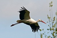 White Stork in flight, Ciconia ciconia