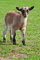 Young Domestic Goat, Capra hircus