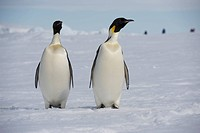 Two Emperor penguins Aptenodytes forsteristanding on fast ice in the Weddell Sea, part of the Southern Ocean