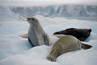 Crabeater seals Lobodon carcinophagus on ice floe