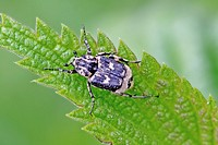 Valgus hemipterusm nale on young nettle leaf  Dark beetle with distinctive white lunule markings  Females have a noticeable telson  Beetles are active...