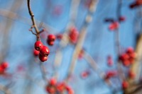 COTONEASTER SALICIFOLIUS. Winter growing berries still attached to branches without leaves