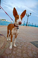 Santa Eularia des Riu. Podenco Ibicenco Dog. Ibiza. Balearic Islands. Spain