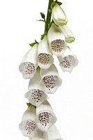 White digitalis purpurea flowers isolated on white background