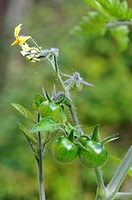 Unripened cherry tomatoes
