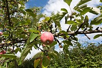 apples in garden