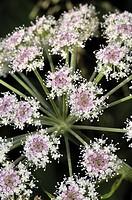 Alexander or Horse parsley (Smyrnium olusatrum, fam. Apiaceae). Osseja, Languedoc-Roussillon, Pyrenees Orientales, France