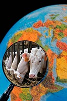 Cows in cattle breeder's cowshed seen through magnifying glass held against illuminated terrestrial globe